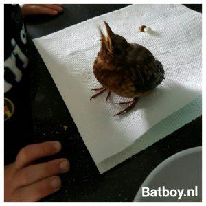 vogeltje, voeren, baby vogeltje gevonden, beschuit, ei, eiwitten, batboy, veel poep