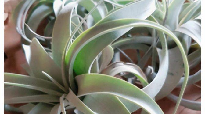 luchtplantjes, batboy, planten
