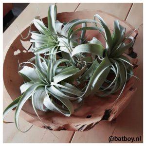 luchtplantjes, batboy, kamerplanten, mamablog