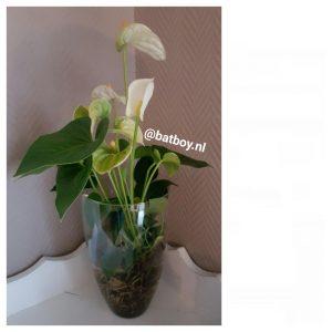 anthurium, kamerplant, batboy, groene vingers, anthurium verzorging, hydroponie