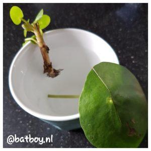 batboy, pannenkoekplant, makkelijk te stekken