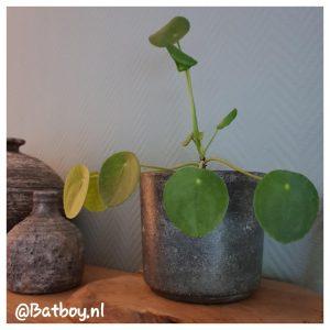 kamerplanten, makkelijk, batboy, mamablog