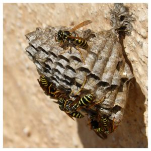 wespen, wespennest