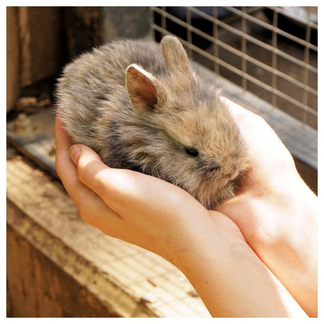 konijn, konijnen, huisdier